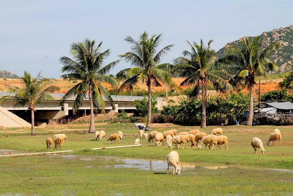 Cừu Mũi Dinh Ninh Thuận