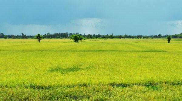 Có những cánh đồng lúa chín vàng